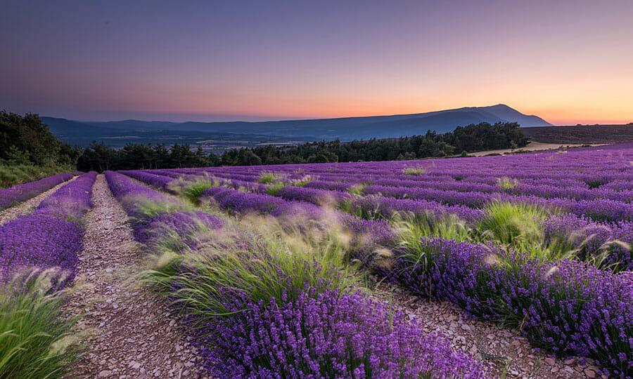 Mont Ventoux Lavender