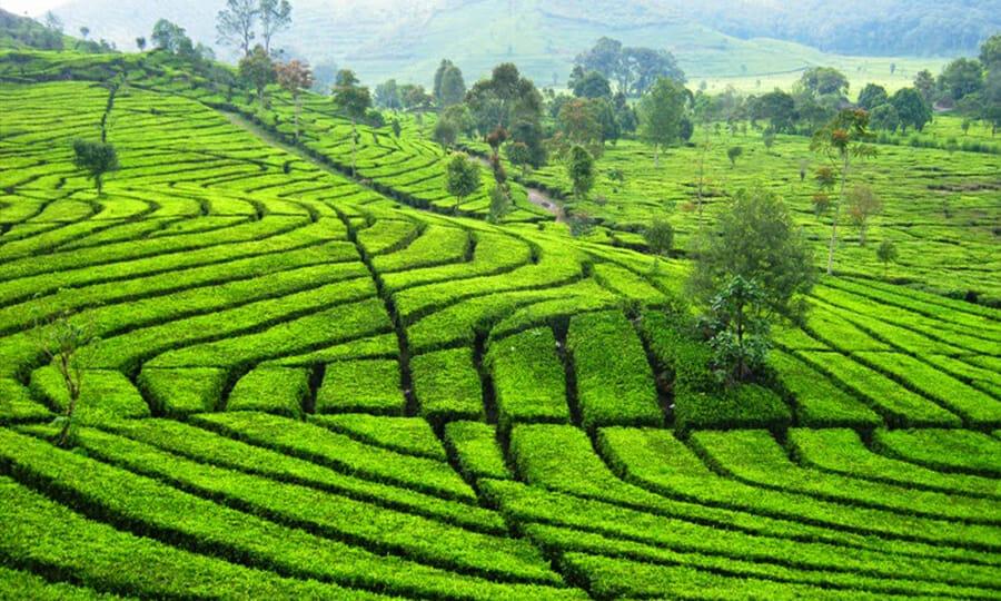 Tea Farm Bandung Indonesia