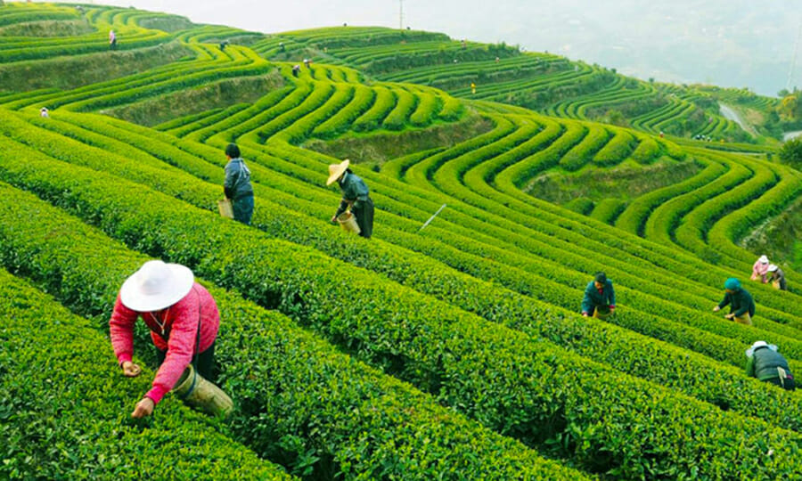 Tea Farm Hangzhou